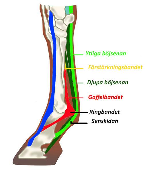 Benets anatomi